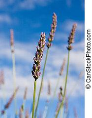 Wild lavendar flower in natural surroundings against blue sky