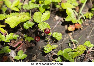 wild, leafs., pflanze, grün, erdbeer