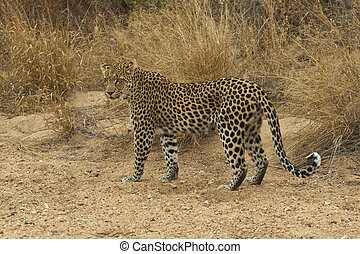 Wild Leopard - Female leopard (Panthera pardus) walking...