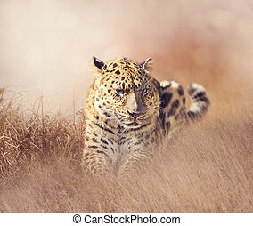 Leopard resting in the grass