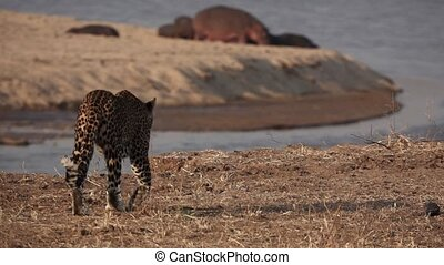 Wild leopard walks near river in super slow motion with hippos in the background