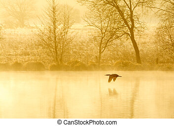 wild life - a wild duck flying over a pond early in the...