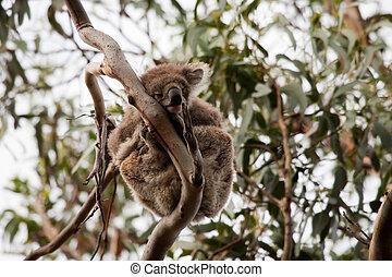 Wild life in Australia - Koala bear in the trees in wild...