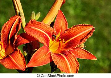 Wild lily under the sun