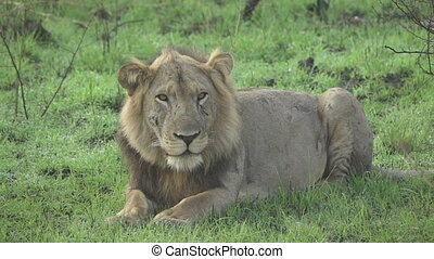 Wild lion blinking eyes in super slow motion - Detailed view...