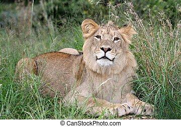 Wild Lion in African Grass Land