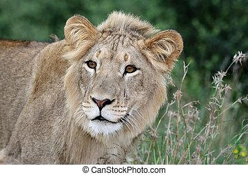 Wild Lion in Long Grasses