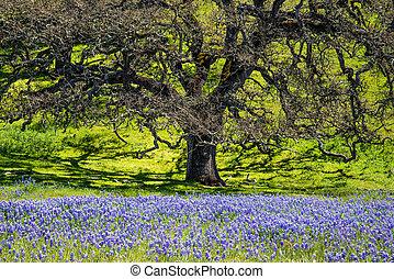 Wild lupin flowers under oak tree - Rare wild lupin bloom in...