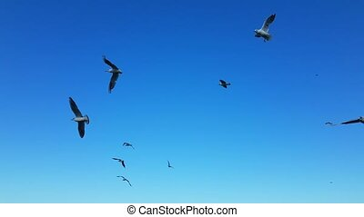 wild, möwen, fliegendes, in, der, blauer himmel
