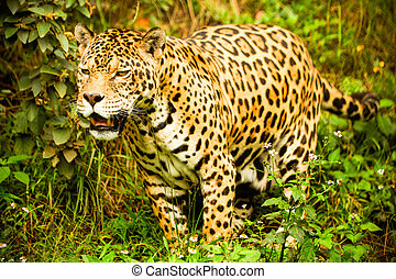 Wild Male Jaguar - Large Male Jaguar Shoot In The Wild...
