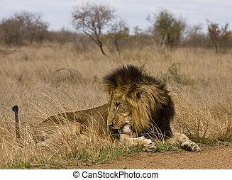 wild male lion sleeping in savannah
