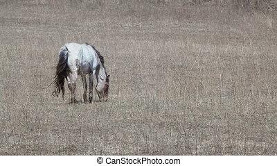 wild mare - wild white horse to pasture
