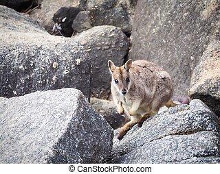 Wild Mareeba Rock Wallaby, Queensland, Australia