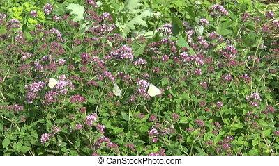 wild marjoram oregano medical herb - wild marjoram oregano...
