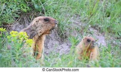 Wild marmots and him baby in steppe near his hole. Shout...