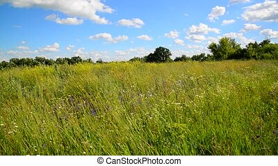 Wild meadow from different grasses In central part of Russia...