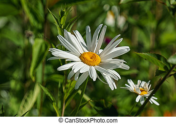wild meadow white daisies flowers in the countryside.