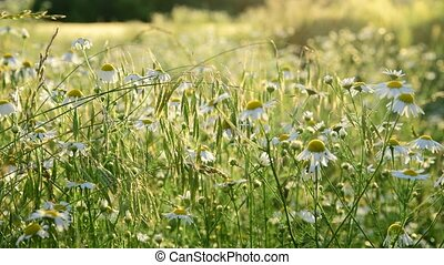 wild meadow with daisies In rays of setting sun