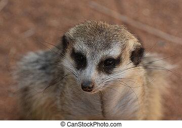 Wild Meerkat with a Very Direct Look