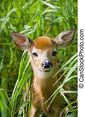 Wild Minnesota Deer Fawn - Wild fawn in Central Minnesota
