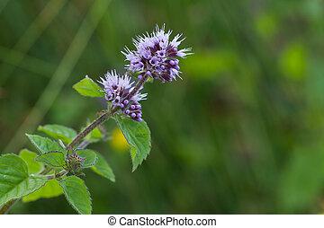 Wild mint flower