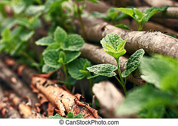 Wild mint growing through hazel sticks