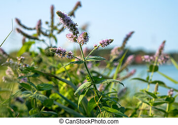 wild mint, peppermint thickets, mint bushes on the shore of the reservoir