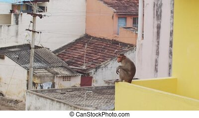 Wild monkey animal living in indian city posing on rooftops slow motion. Funny macaque sitting on roof edge on urban buildings background. Travel tourism vacation ecology protection concept
