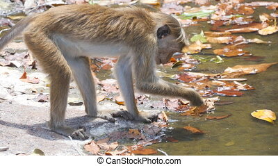 Wild monkey takes fallen leaves from the river in national park and looking at them with big interest. Cute small macaque sitting near water of lake and playing. Side view Close up