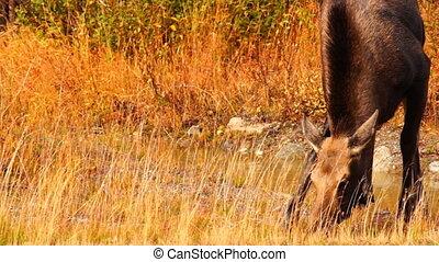 Wild Moose Cow Calf Animal Wildlife Marsh Alaska Greenbelt -...