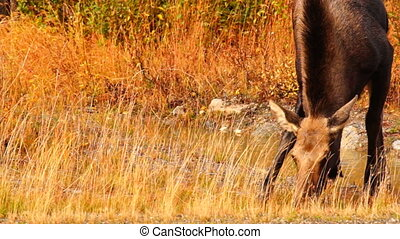 Wild Moose Cow Calf Animal Wildlife - Moose come out to get...