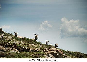 Wild mountain sheep - Mt Baldy, NM