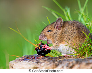 Wild mouse eating raspberry on log sideview