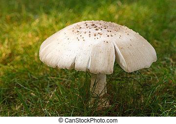 Mature wild mushroom (Amanita Rubescens) with split cap growing in a grass lawn.