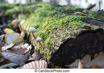 Wild mushrooms in the forest, growing from a moss covered tree trunk