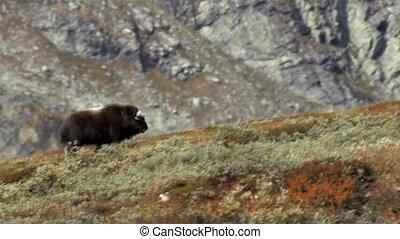 wild musk ox