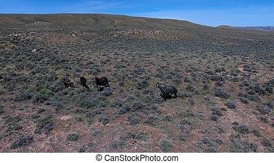 wild, mustangpferde, Pferd,  Wyoming, Luftaufnahmen