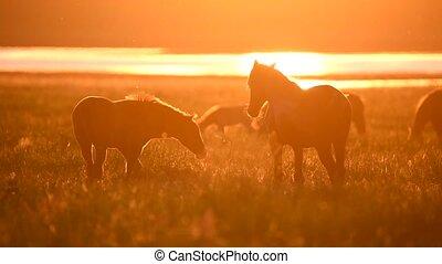 Wild mustangs graze at sunset - Wild horses or mustangs...