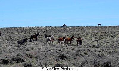 Wild Mustangs Horse Wyoming - Wild Mustangs Horses against...