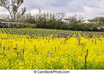 Wild mustard blooming among vineyards, Sonoma