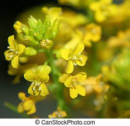 Wild Mustard Blooms-2