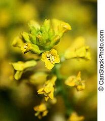 Wild Mustard Blooms