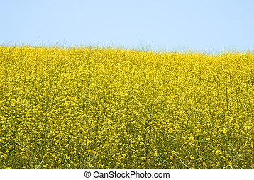 Wild Mustard - Brassica Rapa