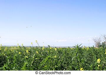 Wild Mustard - Butterflies