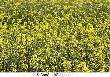 Wild mustard flowers.