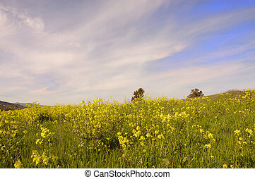 Wild mustard in bloom