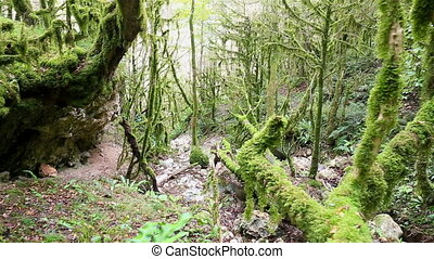 Wild mystical forest with mossy trees