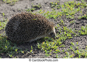 Wild, native hedgehog on grass. Erinaceus europaeus. - Wild...