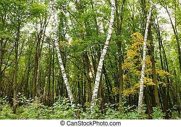 Wild Natural Forest of Old Beech Trees in Autumn - natural...