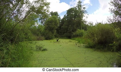 wild natural marsh pond water with green duckweed. Timelapse...